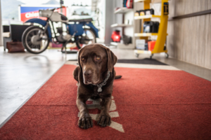 Hund auf rotem Teppich bei KFZ Maier